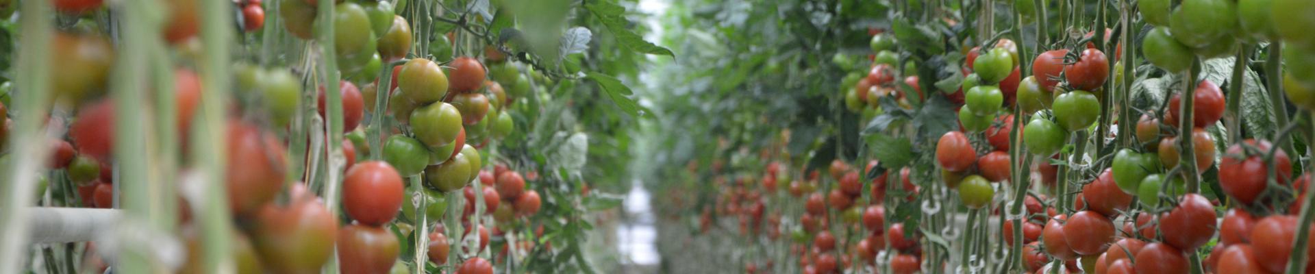 Primato Tomato